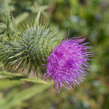 Thistle flower head Royalty Free Stock Photo