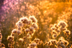 Thistle Flower Is Gone Royalty Free Stock Photos
