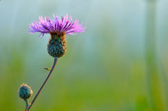 Thistle  flower isolated Royalty Free Stock Images