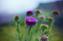 A thistle flower in the natural environment of the alpine meadow. Blurred background stock photography