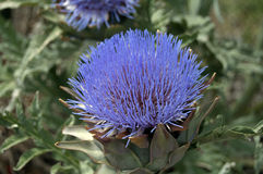 Thistle flower. Photograph of a flower of purple thistle. Nature Royalty Free Stock Photography