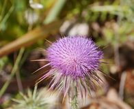 A thistle with a flower Royalty Free Stock Photos