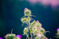 Thistle flower plant. On a dark background Royalty Free Stock Images