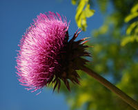 Thistle Flower Royalty Free Stock Photography