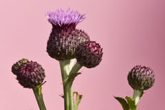 Thistle flower. Purple thistle flower on pink background Royalty Free Stock Photo