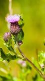 Thistle flower. Thistle - Scottish national flower - St Andrew's Day or Burns Night stock images
