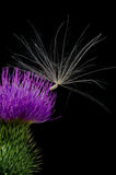Thistle Flower with Seed. Stock Photography