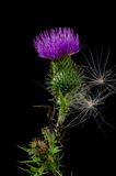 Thistle Flower with Seeds. Royalty Free Stock Images
