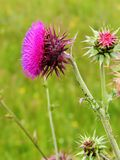 Thistle flower on the side Royalty Free Stock Photos