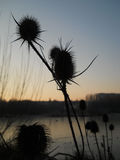 Thistle flower silhouette on the sunset sky Stock Photos