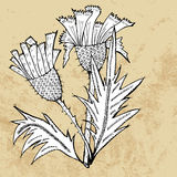 Thistle flower sketch, vector Stock Image