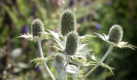 Thistle flower in a summer meadow Stock Images