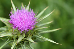 Thistle flower Stock Image