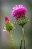 Thistle Flower. Two Thistle flowers with a blurred background stock images
