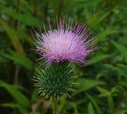 Thistle. Flower wild wildflower purple summer green lavender field rural flora Royalty Free Stock Photography