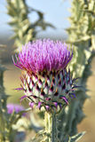 thistle flower2 Royaltyfri Foto