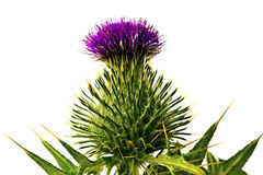 Thistle flowerhead Stock Photography