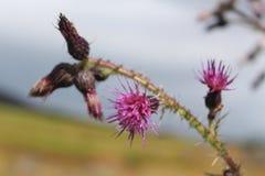 Thistle flowering. Scottish thistle plant flowering Royalty Free Stock Image