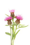 Thistle flowers Royalty Free Stock Image