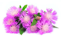 Thistle flowers Stock Images