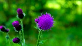 Thistle flowers on background of green foliage. Thistle flowers sway in the wind on background of green foliage stock footage