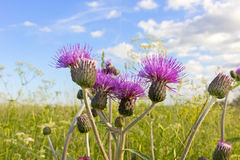 Thistle flowers Stock Image