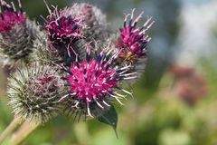 Thistle flowers close-up Royalty Free Stock Images