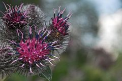 Thistle flowers close-up Royalty Free Stock Image