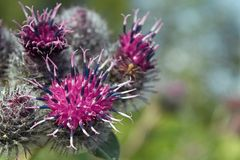 Thistle flowers close-up Royalty Free Stock Photos