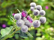 Thistle flowers on green background Royalty Free Stock Images