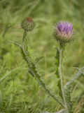 Thistle Flowers-Meadow Royalty Free Stock Photos