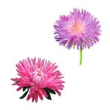 Thistle flowers, Pink Daisy, Illustration isolated. Thistle flowers, Pink Daisy isolated on white Stock Photos
