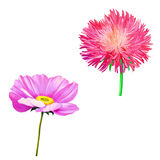 Thistle flowers, Pink Daisy, Poppy flower Royalty Free Stock Image