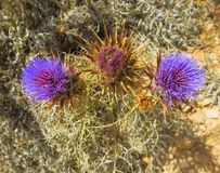 Thistle flowers with very pungent leaves. In the arid land royalty free stock images