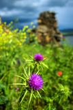 Thistle in focus with blurred background. Close up of a thistle, with blurred grass, reservoir and a derelict building in the background. Nature. Spain. Spring royalty free stock image