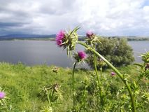 Thistle in front of a lake. Beautiful in focus thistle with a lake in the background. Summer. Nature photography royalty free stock images