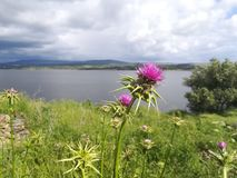 Thistle in front of lake 2. In focus thistle with a lake in the background stock photography
