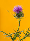 Thistle in front of an orange background Stock Photo
