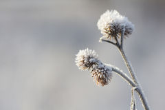 Thistle with frost Royalty Free Stock Photos