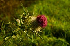 Thistle general Stock Photography