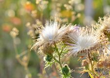 Thistle gives the seeds in autumn, a beautiful white delicate thistle stock photos