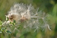 Thistle going to seed. The afternoon sun catches a triangle of thistle seeds still tethered but supported by a gentle breeze stock photo