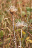 Thistle Gone to Seed. Macro of a prickly thistle gone to seed Stock Images