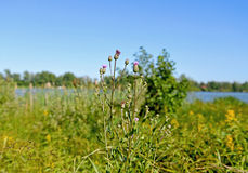 Thistle. Grass Thistle river among other herbs Stock Image