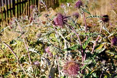 Thistle. Stock Photo