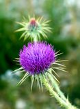 Thistle growing in the mountains of Turkey. One blossoming thistle flower on a background of green grass Royalty Free Stock Image