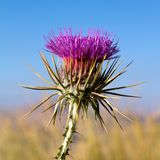 Thistle growing in the mountains of Turkey. One blossoming thistle flower on a background of green grass stock photo