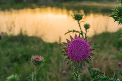 Thistle. Growing near a pond at sunset Stock Images