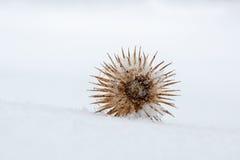 Thistle head. Dry thistle flowerhead on snow stock photos