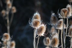 The thistle head great burdock Royalty Free Stock Photography
